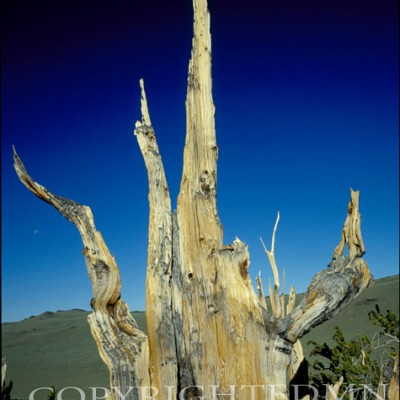 Bristlecone Pine, Bishop , California 86 – Color