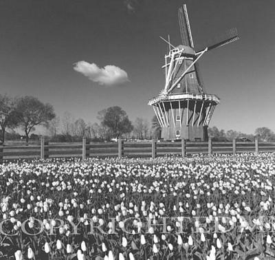 Windmill Among The Tulips, Holland, Michigan