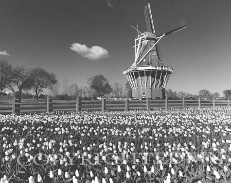 Windmill Among The Tulips, Holland, Michigan