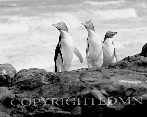 Yellow Eyed Penguins #1, New Zealand 98