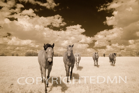 Horses in the Field, Kentucky 08 – Monotint