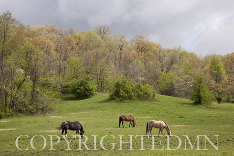 Horses in the Field, West Virginia 09 – color