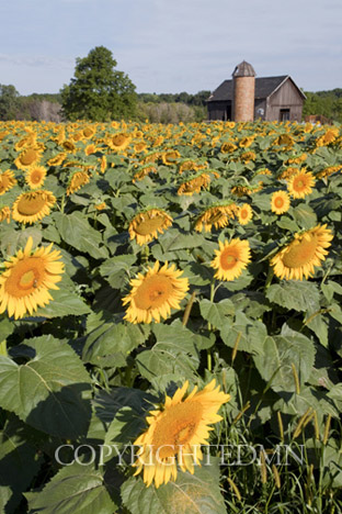 Sunflowers & Barn #2, Owosso, MI 10-Color