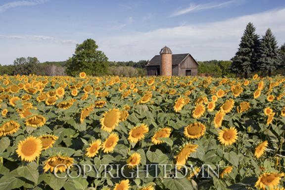 Sunflowers & Barn, Owosso, MI 10-Color