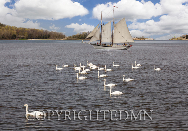 Sailing with Swans, Traverse City, Michigan 11 – color
