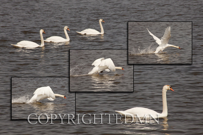 Seven Swans, Traverse City, Michigan 11 – color