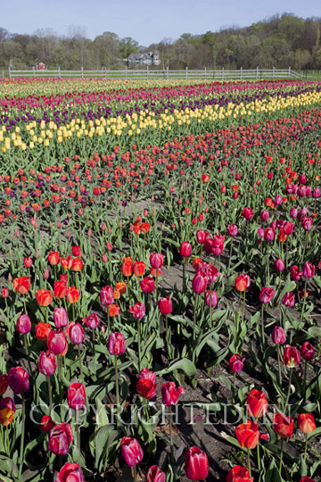 Tulip Field, Holland, Michigan 11 – color