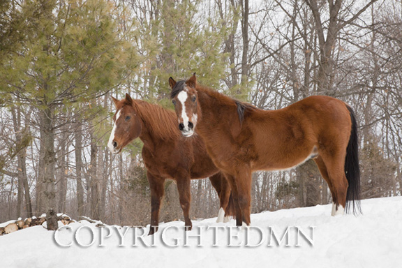Two Horses In Winter, Milford, Michigan 11-color