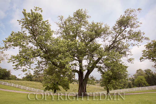 Oak Tree, Harrodsburg, Kentucky 12 – Color