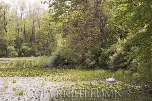 Swan at Kensington, Milford, Michigan 12 – Color Pan