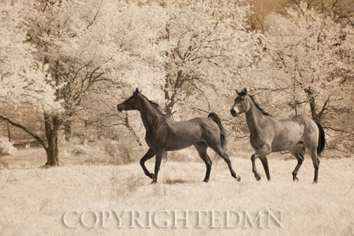 Two Horses running, Manchester, Michigan 12 – IR.