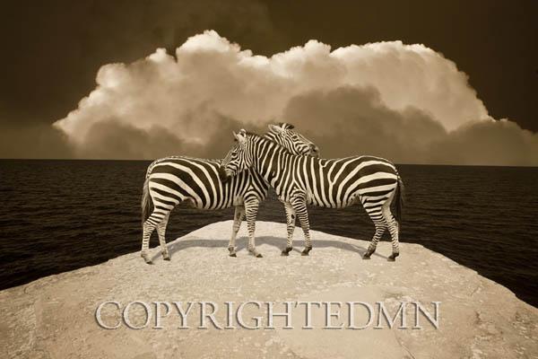 Two Zebras, Port Austin, MI 11 – IR