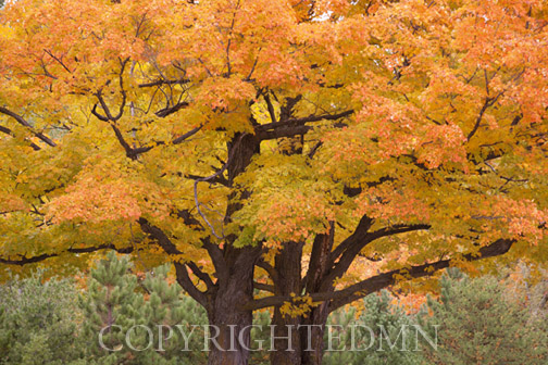 Maple Tree In Autumn, Big Bay, Michigan 12-color