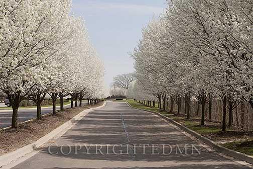 Row of Trees, Novi, Michigan 12 – Color