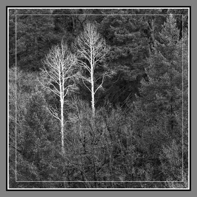 Two Aspen Trees - Geometric