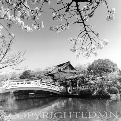 Cherry Blossoms & Bridge, Kyoto, Japan 05