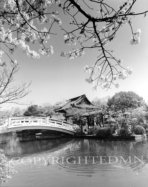 Cherry Blossoms & Bridge, Kyoto, Japan 05