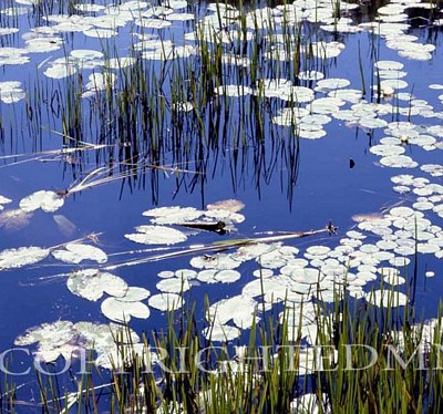 Lily Pads & Reeds, Ontario, Canada – Color