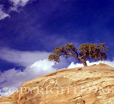 Lone Juniper Tree, Escalante, Utah – Color