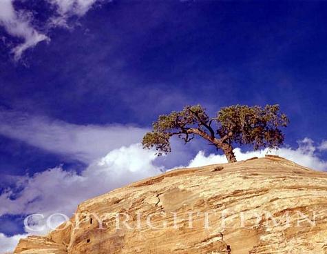 Lone Juniper Tree, Escalante, Utah – Color