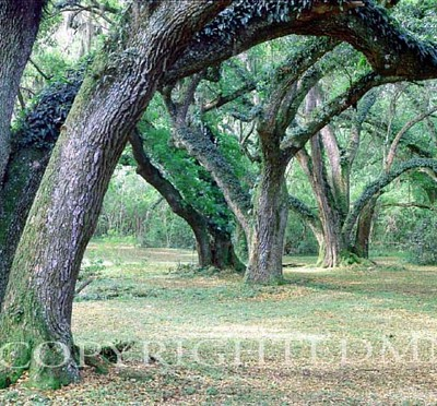 Louisiana Oaks, Louisiana – Color