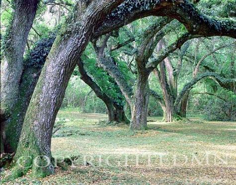 Louisiana Oaks, Louisiana – Color