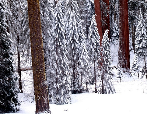 Pines In Winter, California – Color