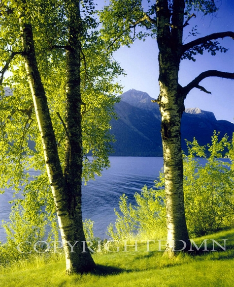 Birch Trees In Montana – Color
