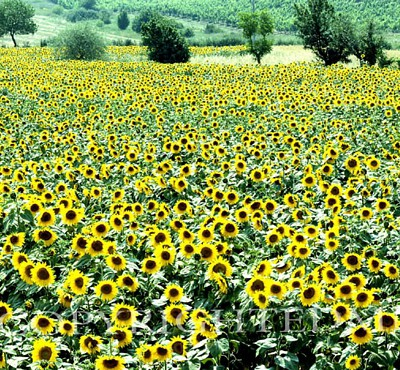 Sunflower Field, Rome, Italy – Color