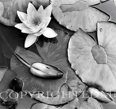 Water Lily, Wales 89