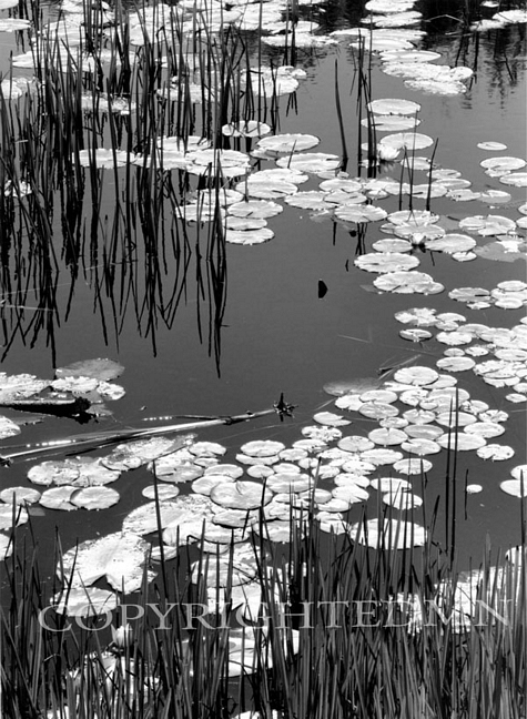 Lily Pads & Reeds, Ontario, Canada