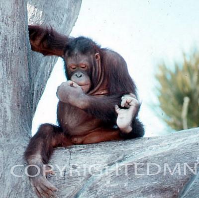 Chimpanzee #1 - Color