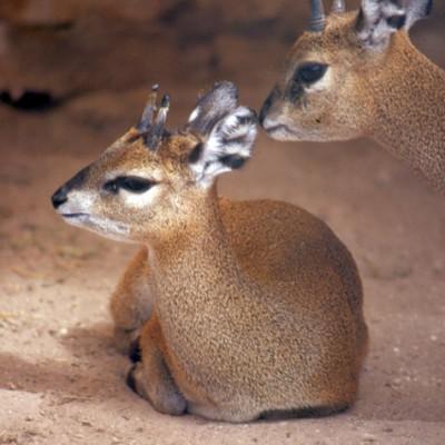 Deer #1 - Color
