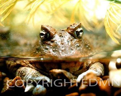 Frog #1 - Color