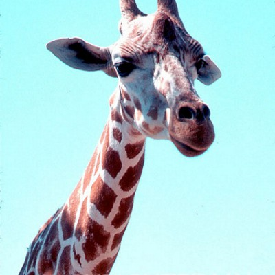 Giraffe #1 - Color