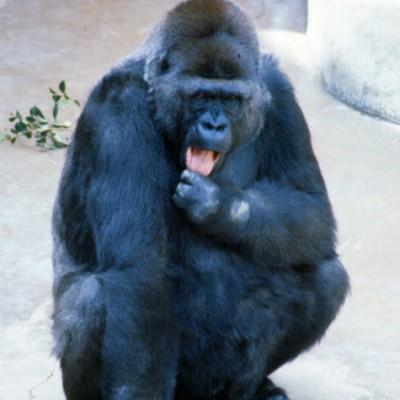 Gorilla #1 - Color
