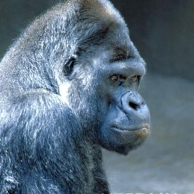 Gorilla #2 - Color