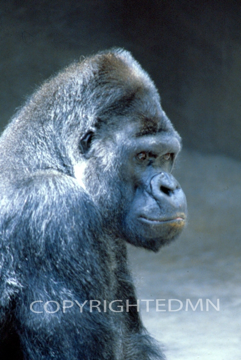 gorilla 2 color photography