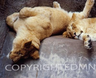 Lion #7 - Color