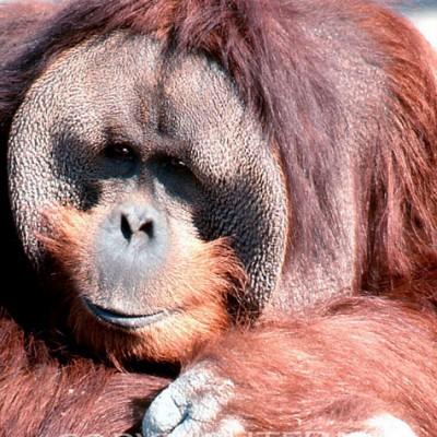 Orangutan #1 - Color