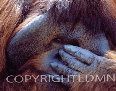 Orangutan #2 - Color