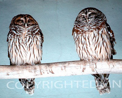 Owl #1 - Color