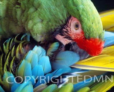 Parrot #1 - Color