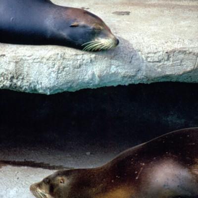 Seal #1 - Color