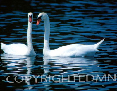 Swan #2 - Color