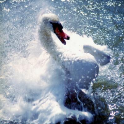 Swan #3 - Color