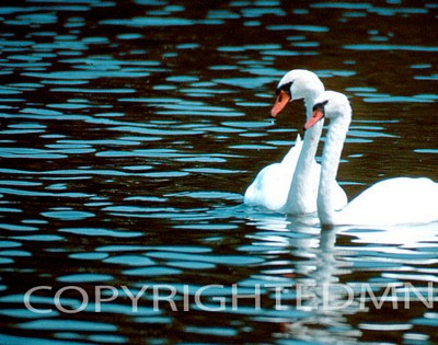 Swan #4 - Color