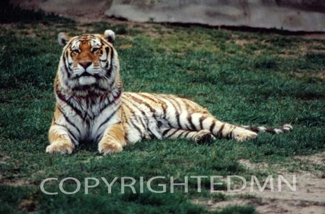 Tiger #1 - Color