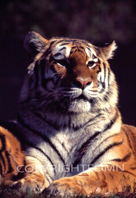 Tiger #2 - Color