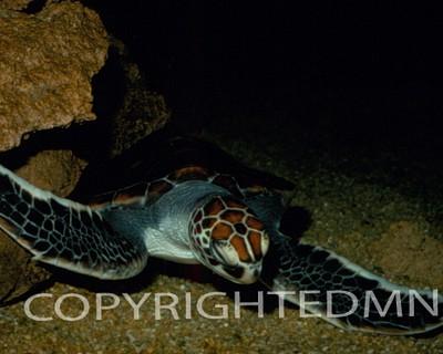 Turtle #1 - Color